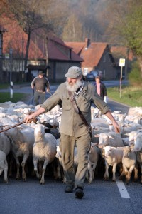 Schäfer beim Umtrieb seiner Schafherde
